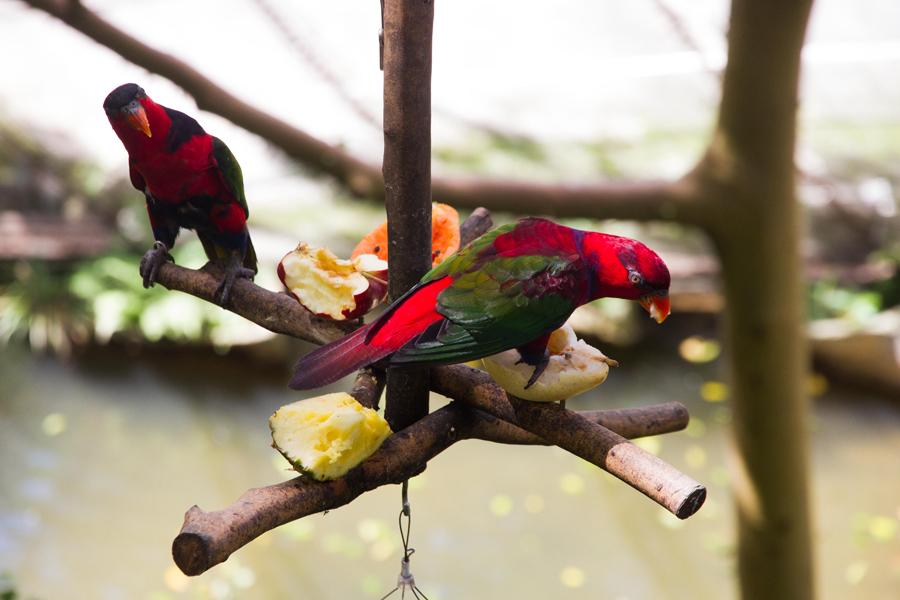 Black-Capped Lories enjoying their lunch