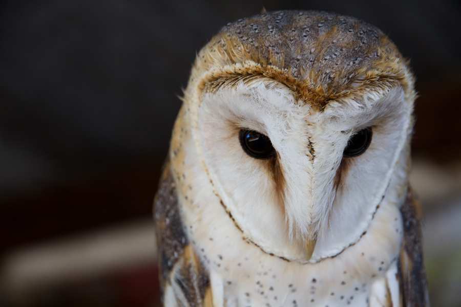 an owl at Eagle Encounters