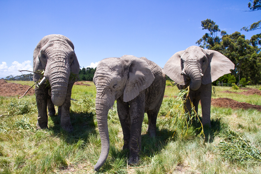 three elephants in knysna