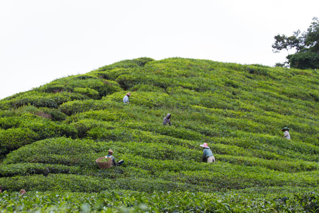 Immigrant workers on a tea plantation in Malaysia.