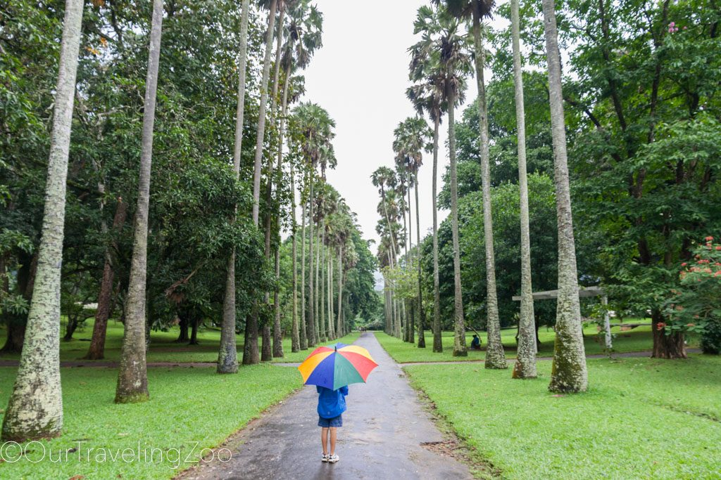 Kandy Botanical Gardens Sri Lanka Boy with Umbrella