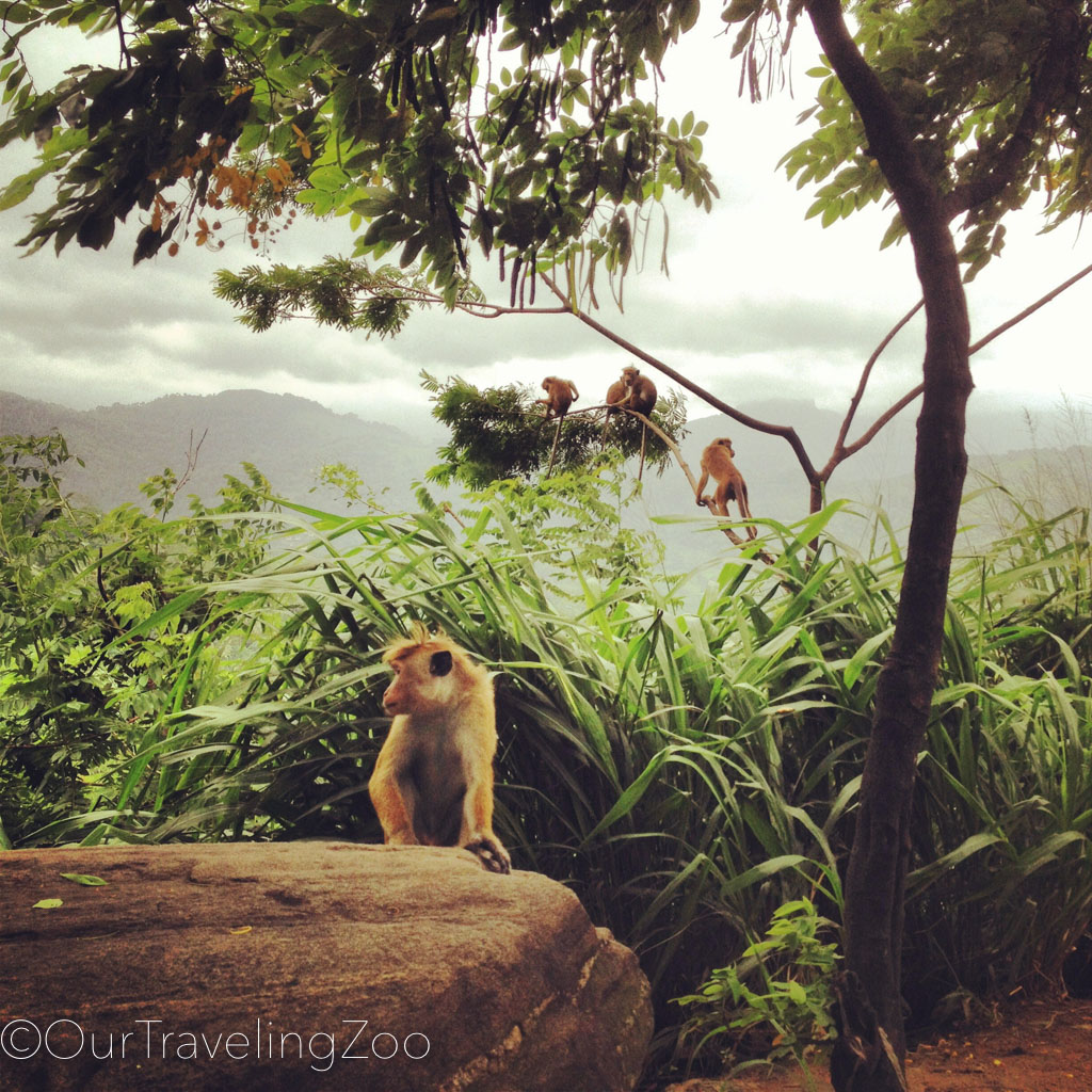 Monkeys in the jungle outside of Kandy, Sri Lanka