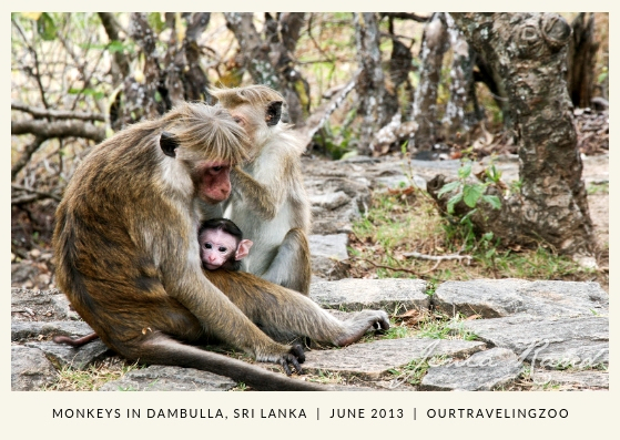 A cute baby monkey is peeking from behind its mama in Dambulla, Sri Lanka