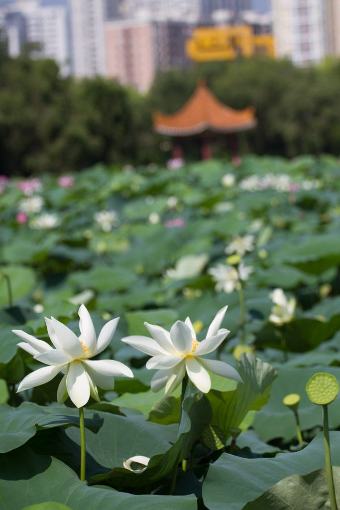 Lotus blossoms in Shenzhen, China