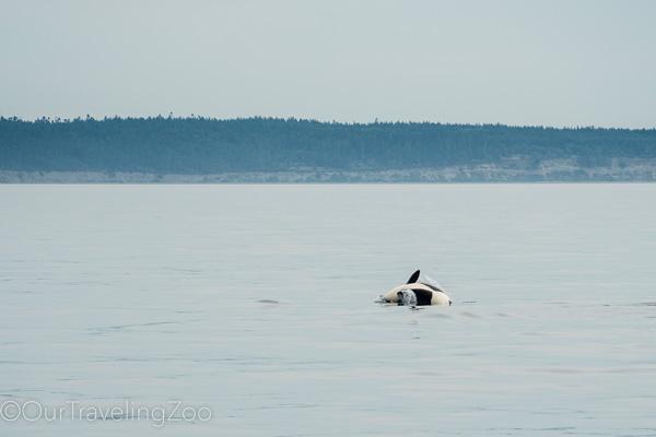 Wild orca doing a cartwheel