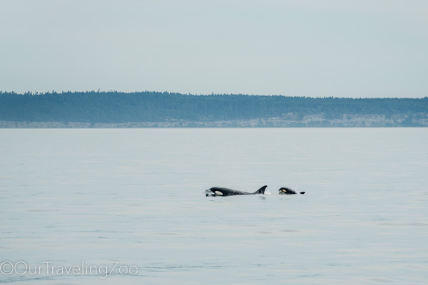 Orcas in the Salish Sea