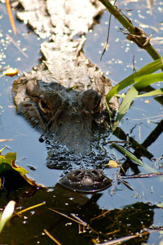 alligator swimming in the Okefenokee Swamp
