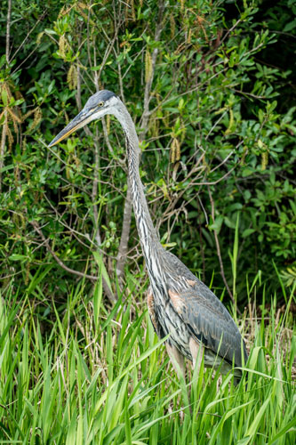 blue heron in Okefenokee