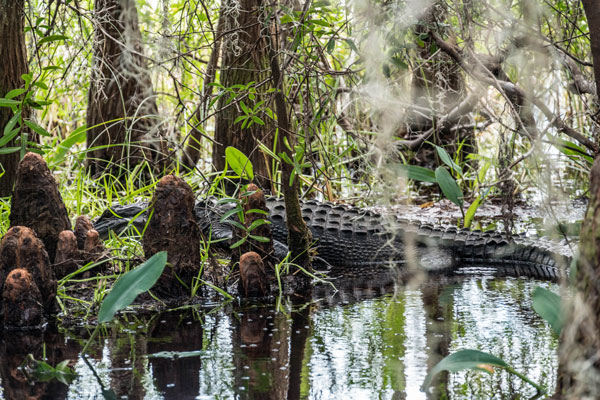 Alligator sighting during Okefenokee Swamp Tours